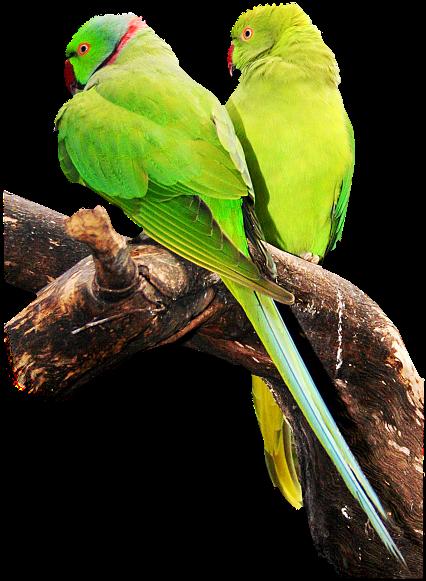Výsledok vyhľadávania obrázkov pre dopyt gif png papagáje